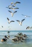 Различные птицы летая и плавая на пляже Holbox Стоковая Фотография RF