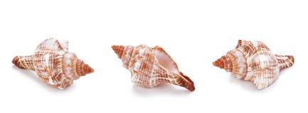 Различные раковины раковины моря в ряд Стоковое Изображение