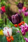 Различные тюльпаны в саде Стоковые Фото