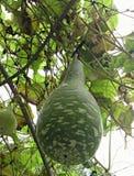 Различный вид тыквы Стоковая Фотография