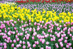 Различный цвет поля цветков тюльпанов Стоковые Изображения RF