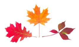 3 различных листь осени на светлой предпосылке Стоковое фото RF