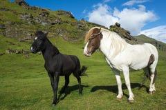 2 различных исландских лошади на естественной предпосылке с голубым небом и зелеными холмами Стоковые Фото