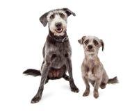 2 различных собаки породы размера смешанных терьером Стоковые Изображения RF