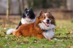 2 различных собаки Elo на луге Стоковое Изображение
