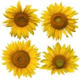 4 различных солнцецвета изолированного против белизны Стоковое Изображение
