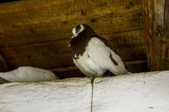 Раздражанный голубь в просторной квартире Стоковые Изображения RF