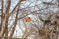 Раздражанный bullfinch сидя на ветвях Буша в холоде Стоковое фото RF