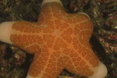 Раздробленная морская звезда, остров Mabul, Сабах стоковое фото rf