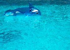 Раздувной дельфин в бассейне Стоковые Фотографии RF