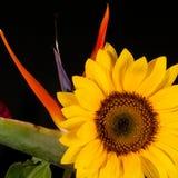Райская птица и солнцецвет Стоковое фото RF