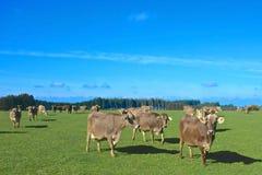 Рай коровы Стоковое Изображение RF
