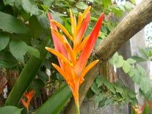 Рай птицы цветка Heliconia на заводах Стоковое Изображение RF