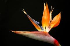рай птицы Стоковые Фотографии RF
