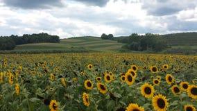 Рай солнцецвета стоковое изображение