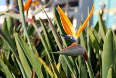 рай цветка птицы стоковые изображения rf