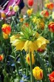 Рай Keukenhof цветка в Нидерландах Стоковое Изображение