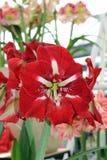 Рай Keukenhof цветка в Нидерландах Стоковые Изображения