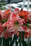Рай Keukenhof цветка в Нидерландах Стоковые Изображения RF
