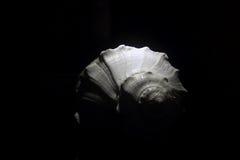 Раковина белого моря Стоковое Изображение RF