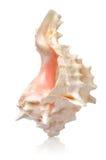 Раковина в вертикальном положении Стоковое Изображение