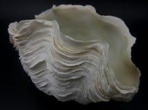 Раковина гигантского clam Стоковое Изображение