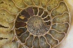 раковина ископаемого аммонита Стоковая Фотография RF