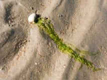 Раковина и морская водоросль на песке Стоковые Фото