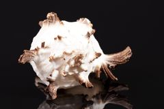 Раковина моря захватнического ramosus Chicoreus улитки моря изолированная на черной предпосылке Стоковая Фотография RF