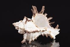 Раковина моря захватнического ramosus Chicoreus улитки моря изолированная на черной предпосылке Стоковое Изображение