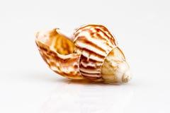 Раковина моря изолированная на белой предпосылке Стоковое Изображение RF