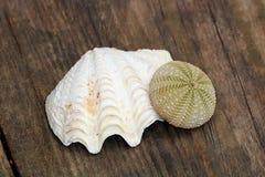 Раковина моря и мальчишка моря Стоковые Изображения