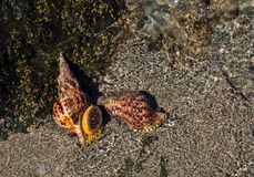 Раковина моря на песочном пляже моря Стоковые Фото