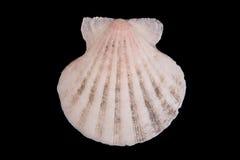 раковина моря предпосылки черная Стоковая Фотография RF