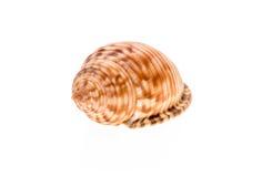 Раковина моря шлема - echinophora Galeodea Пустой дом snai моря Стоковые Фото