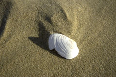 раковина моря Стоковая Фотография