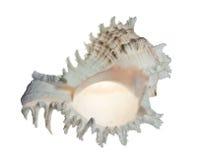 раковина моря Стоковые Фотографии RF