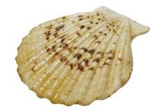 раковина моря стоковое изображение rf