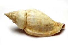 раковина моря стоковое фото rf