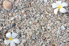 раковина моря leelawadee Стоковые Изображения