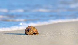 Раковина моря rapan Стоковое фото RF