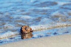 Раковина моря rapan Стоковая Фотография RF