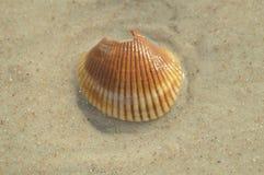 Раковина оранжевого и белого моря Стоковые Фотографии RF