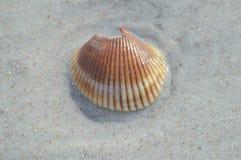 Раковина оранжевого и белого моря Стоковое Фото