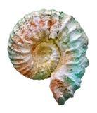 раковина превращенная в камень аммонитом юрская стоковая фотография rf