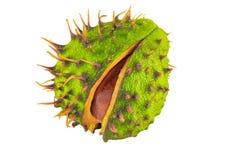 Раковина плода конского каштана разделяя для того чтобы показать плод конского каштана Стоковые Фотографии RF