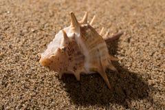 Раковина раковины на песке Стоковая Фотография RF