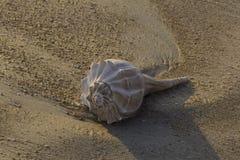 Раковина раковины на пляже в Флориде стоковое фото rf