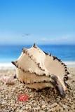 раковина раковины пляжа Стоковое Фото