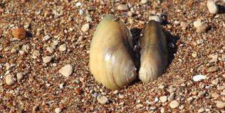Раковина реки в песке Стоковое Фото